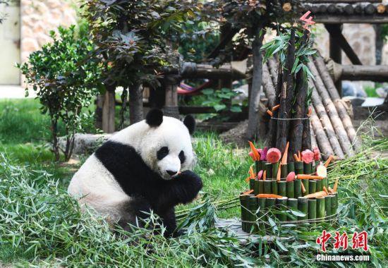 """5月26日,济南动物园,大熊猫吃""""蛋糕""""庆生。当日,济南动物园举办生日会,为大熊猫""""雅吉""""庆祝4周岁生日,""""雅吉""""独享竹笋""""生日蛋糕""""。 中新社记者 张勇 摄"""