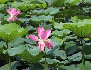 济南大明湖畔赏荷拍照忙