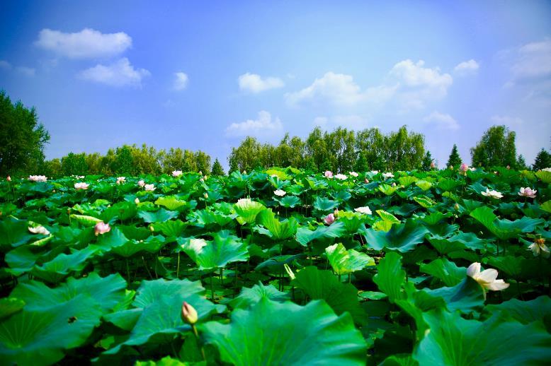 运河湿地:茶与荷