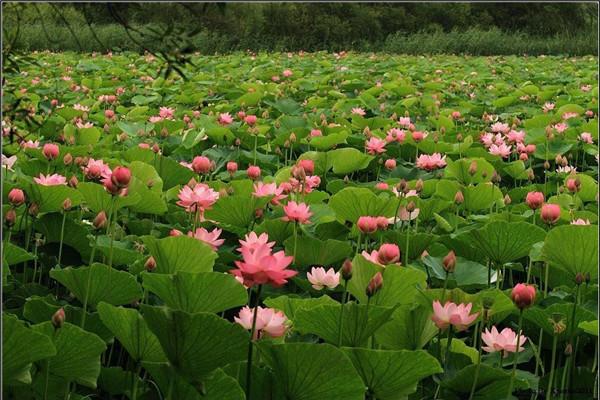 山东枣庄 运河湿地公园400余种荷花盛开