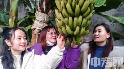 山东淄川:南果北种成风景